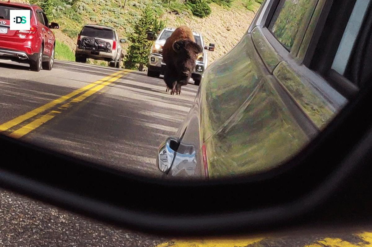 Un bisonte en la carretera...